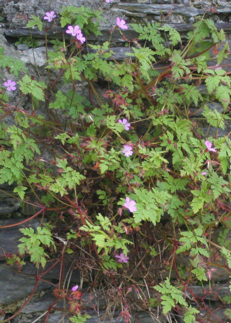Fig. 21 Geranium robertianum