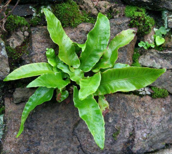 Fig. 27 Asplenium scolopendrium