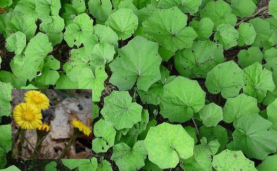 Fig. 37 Tussilago farfara
