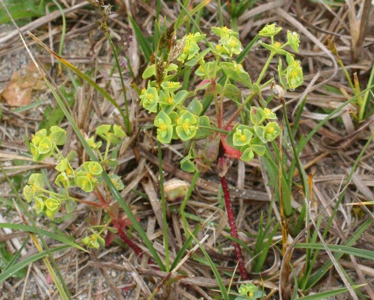 Fig. 57 Euphorbia portlandica