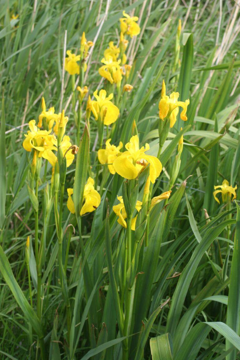 Fig. 71 Iris pseudacorus
