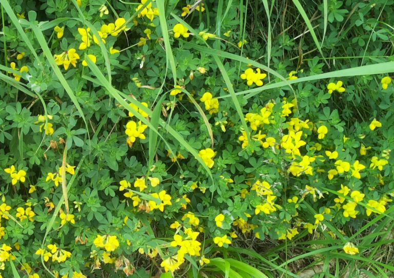 Fig. 72 Lotus corniculatus