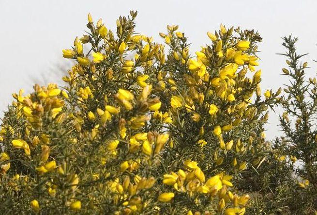 Fig. 76 Ulex europaeus