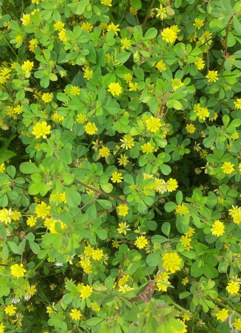 Fig. 79 Trifolium dubium