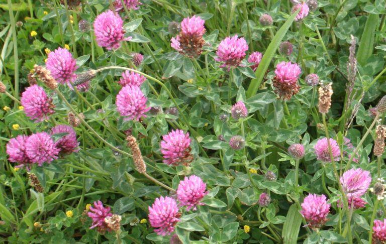 Fig. 82 Trifolium pratense
