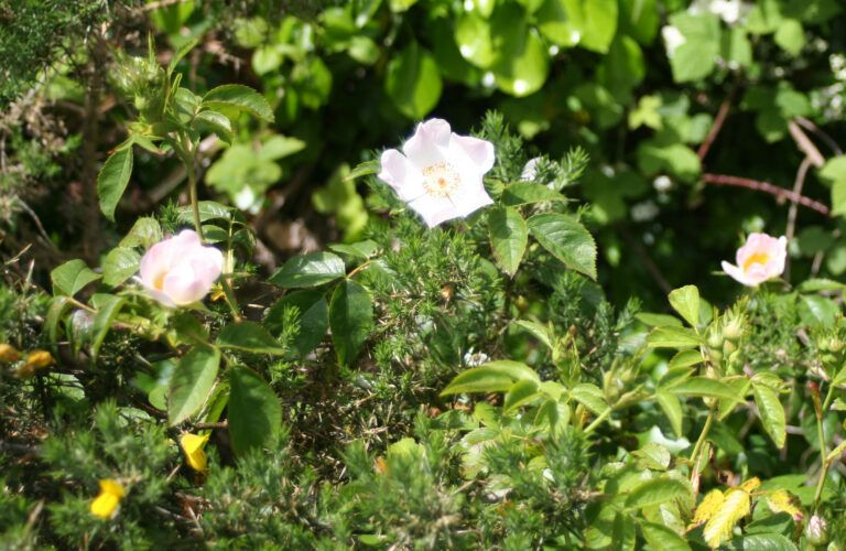 Fig. 98 Rosa spinosissima